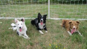 3 Border Collies by JasperBC