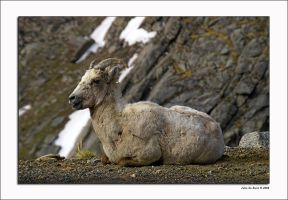 Rocky Mountain Big Horn Sheep by kkart