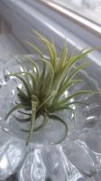 Air plant by xsheervanilla
