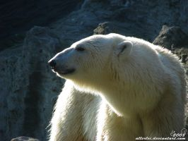 Polar bear: Shine upon Bora by Allerlei