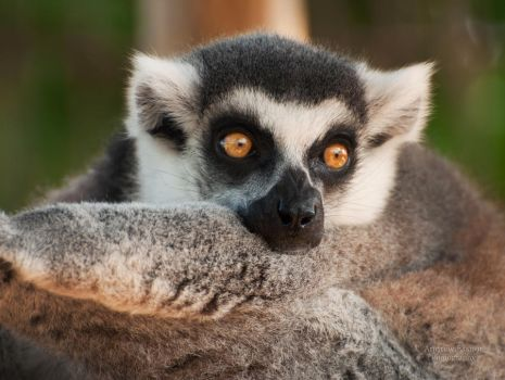 Ring Tailed Lemur by AEisnor