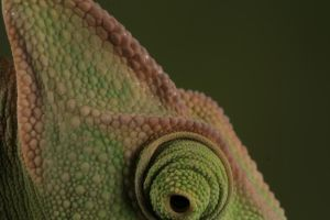 veiled chameleon 1 by bugalirious-STOCK