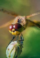 Dragonfly Close-up II by eccoarts