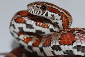 Corn snake by antonioshadow