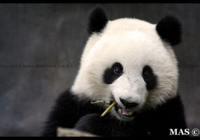 Giant_Panda_8761 by MASOCHO
