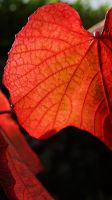 Red Leaf by VincentPhotography