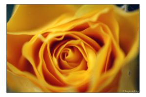 yellow rose by finepix-at