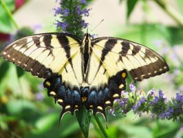 Butterfly - Papilio machaon by OL27