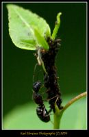 Ant 2 by KSPhotographic