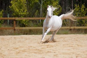 Arab canter tail out by Chunga-Stock