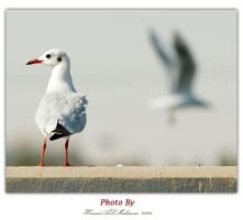 Gull birds by tr7l0o
