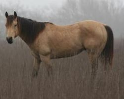 Buckskin horse by Animal-Lovers-Unite
