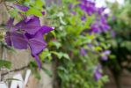 Clematis by dkbarto