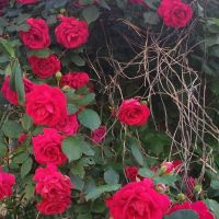 Caven roses by leatherzebra