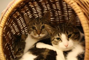 Three cats in a basket by Cmetalguy
