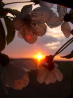 flowers and the sunset by mestophus