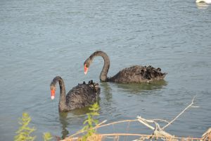 Black swans on Rhone River by A1Z2E3R