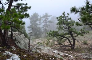 Misty Pines by mttomimages