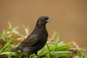blackbird closeup by geographicgeorge