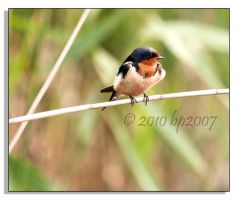 Barn Swallow - 1 by bp2007