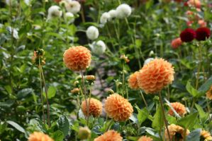 view to dahlias 36 by ingeline-art