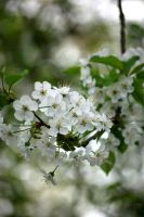 White Blossoms by RowanLewgalon