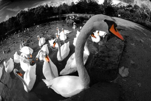 Swans 2 by Leasepics