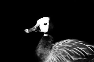 Duck B+W Series IV by Chelliusbee