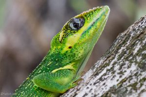Knight anole face by LordMajestros