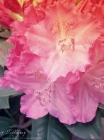 Rhododendron by selinmarsou