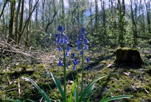 Bluebells by TLO-Photography