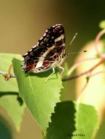 Landkaertchen ( Araschnia levana) / Map Butterfly by bluesgrass