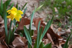 first spring '09 daffodil by bimjo