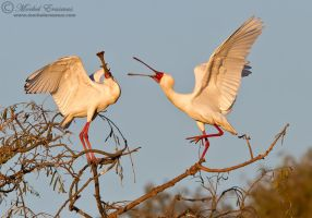 African Spoonbill Argument by MorkelErasmus