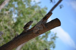 Synchronised lizards. by SGreavesPhotography