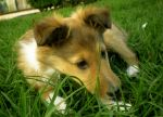 Rough Collie Puppy by Lady-strife