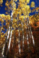 Finding a Way Through the Aspens by mjohanson