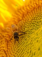 Busy bee by kayaksailor