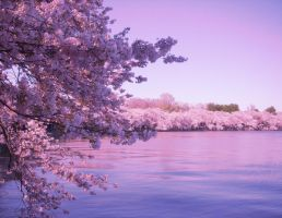 Cherry Blossoms pink by Wataru12012