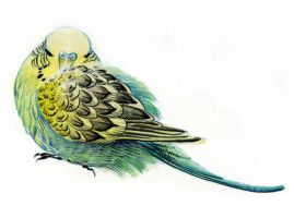 budgie by Prayke