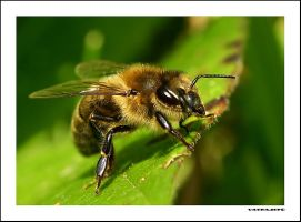 Bee by IvanAntolic