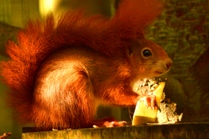 Red Squirrel by C-Gis