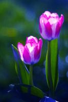 Tulips by Justine1985