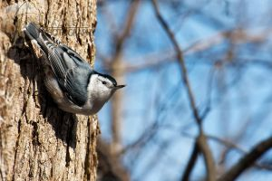 The Nuthatch Way Down by shaguar0508
