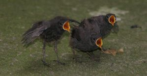 Redstarts 02 - Three Tenors by marble911
