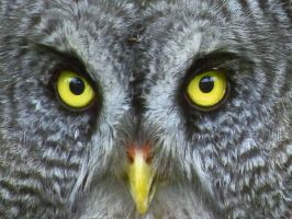 The Eyes Of The Grey Owl by wolfwings1