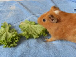 Coco the Guinea Pig by Gexon