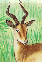 Impala ACEO by Lucky101212