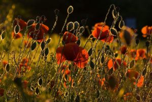 Poppies by Bruinen