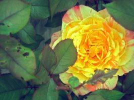 Rose. Between. Two. Thorns. by JohnstonColleen